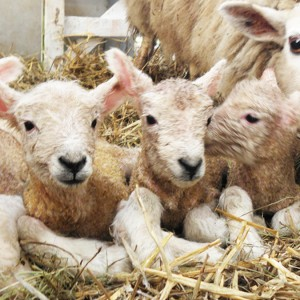 David Kennard Borough Farm Lambing Days at Easter
