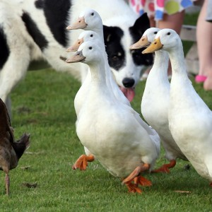 Borough Farm Sheepdog and Falconry Shows