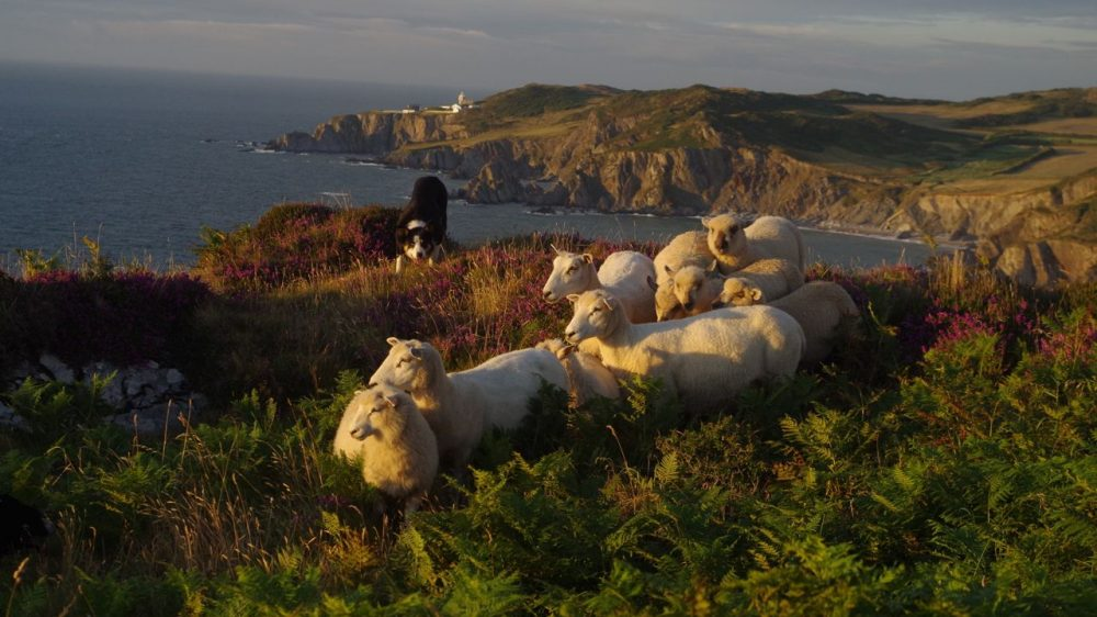 Image result for shepherding walks mortehoe