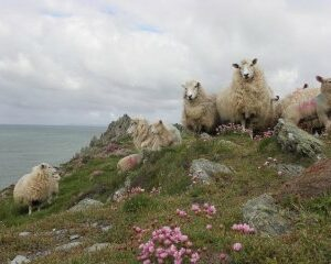 889__320x999_ewes-lambs-and-thrift